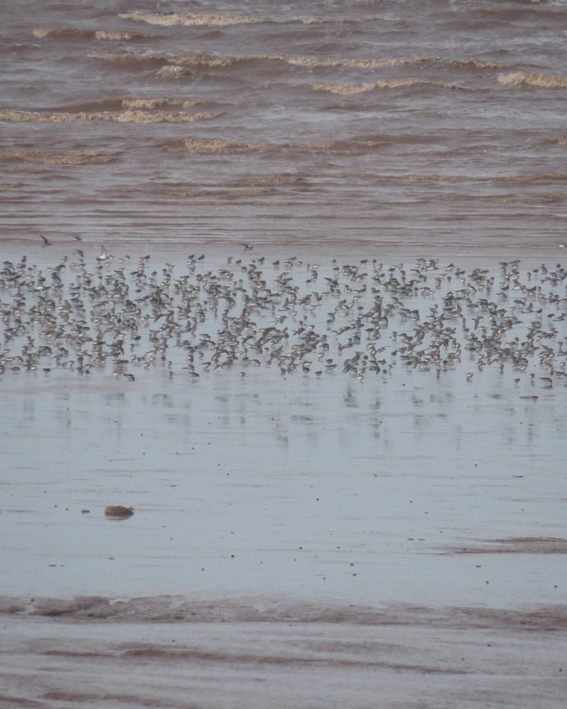 Semipalmated Sandpipers there were about 30K of them there my pictures do not do this justice you just have to go it's amazing!