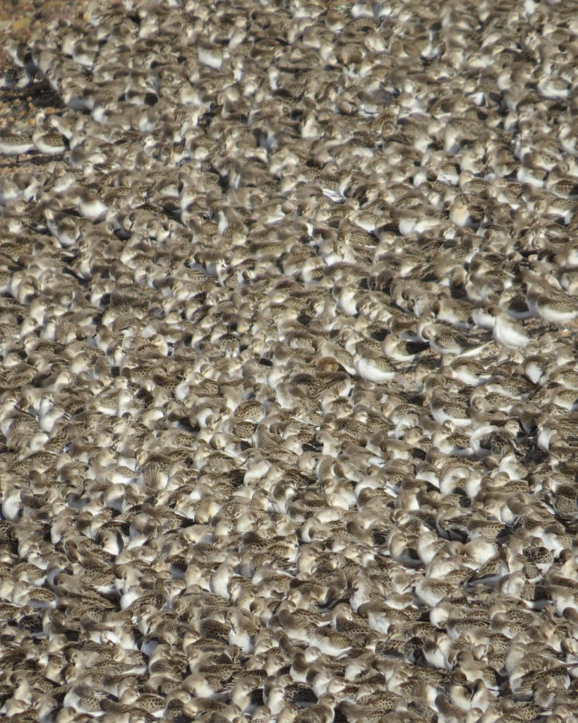 September 6th Semipalmated Sandpipers at the Guzzle in Grand Pré