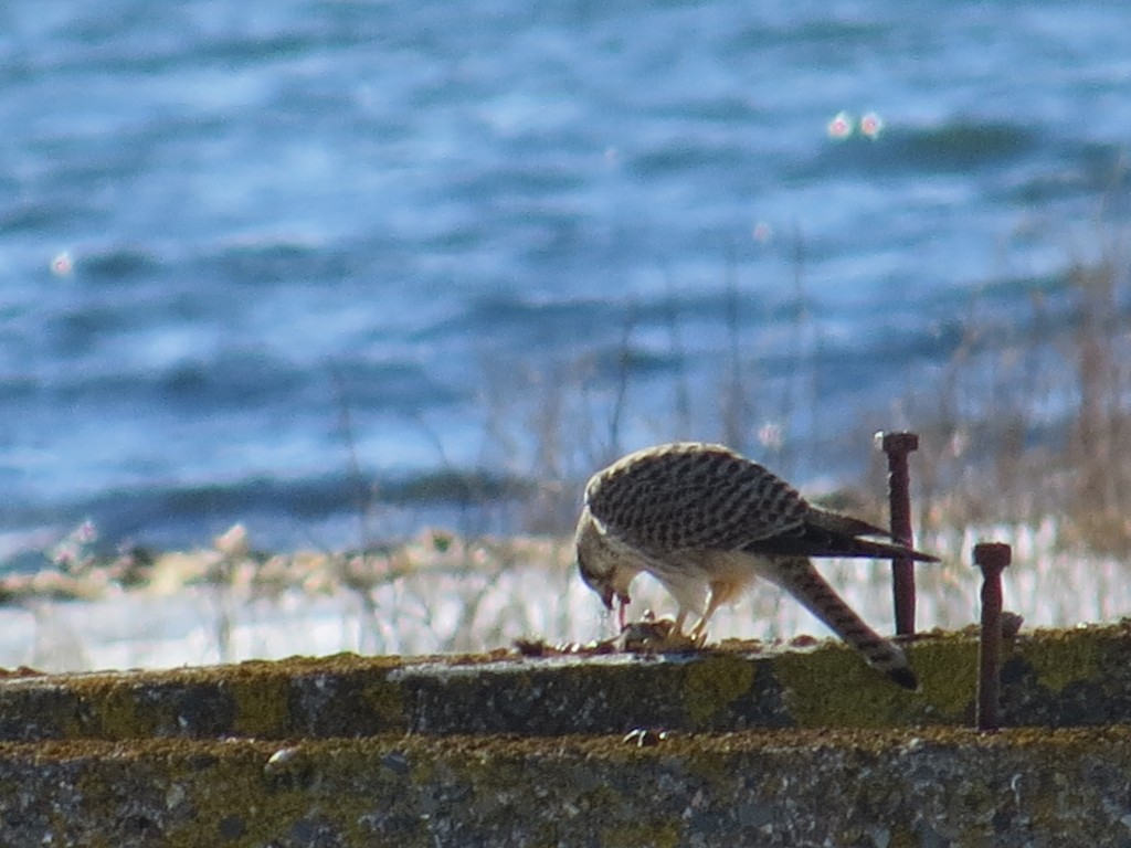 February 28th female Eurasian Kestrel (vagrant) Hartlen Point eating a rodent