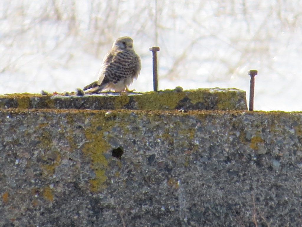 February 28th female Eurasian Kestrel (vagrant) Hartlen Point