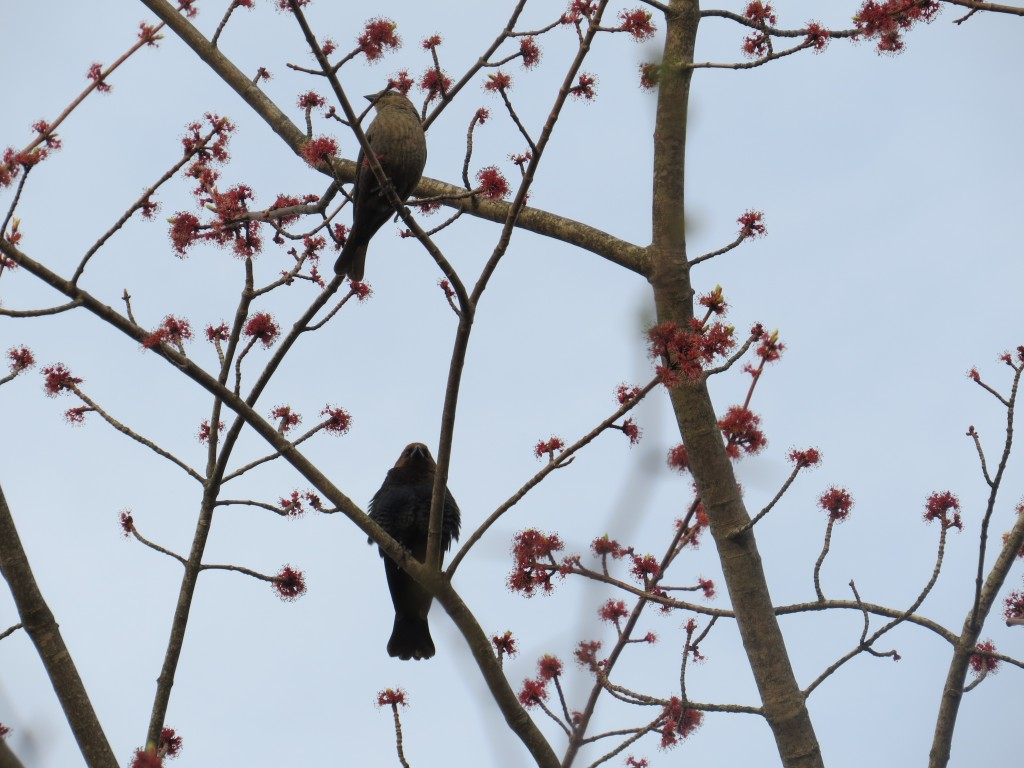 male and female Brown Headed Cowbirds