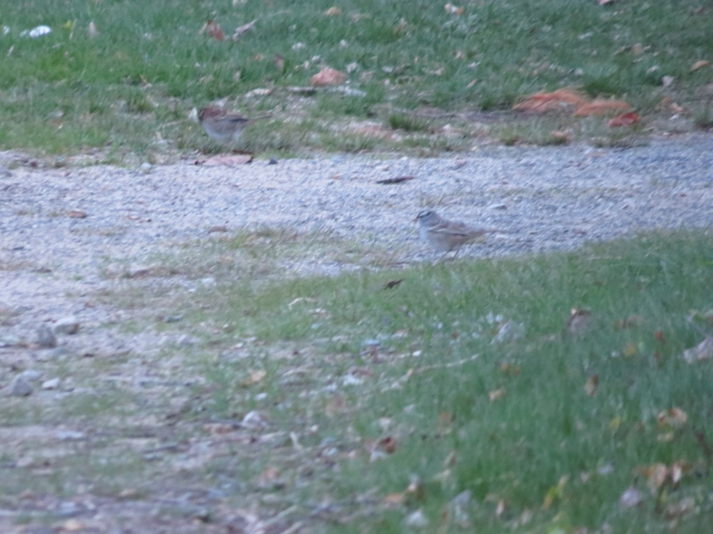 White Crowned Sparrow ?
